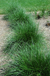 ​All About Wirey Panic Grass