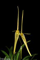 Barbosella cucullata  (formerly longipes)