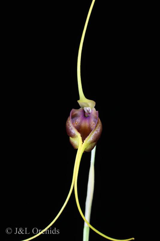 Masdevallia trochilus