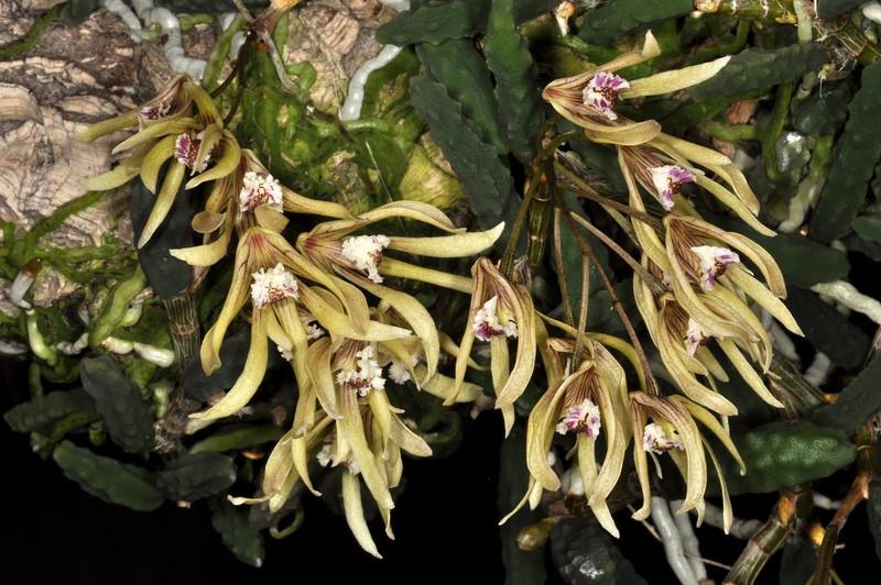 Dendrobium cucumerinum