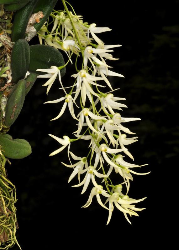 Dendrobium linguiforme