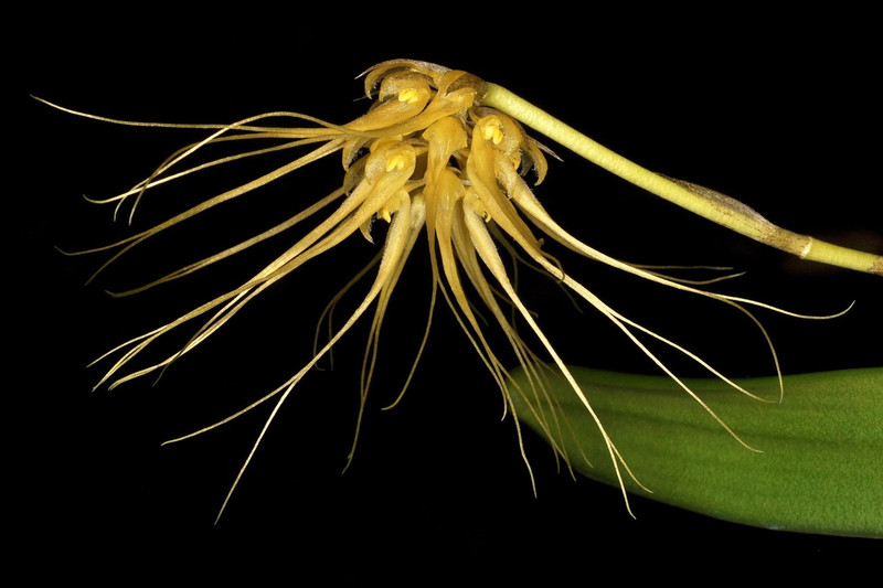 Bulbophyllum vaginatum
