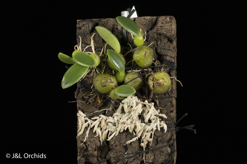 Bulbophyllum oblongum