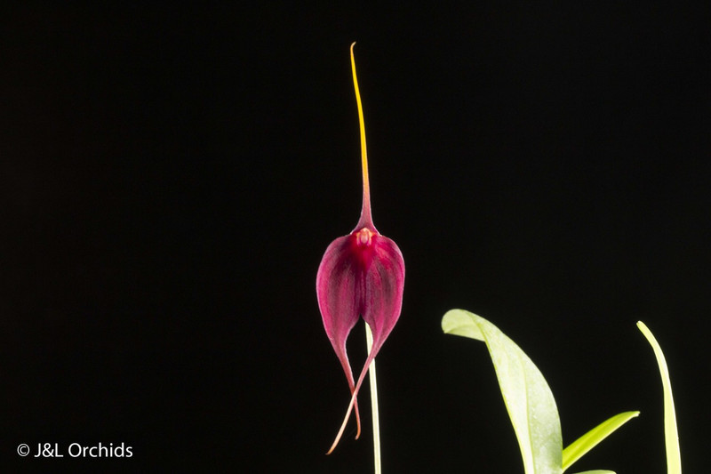 Masdevallia Ruby Slippers