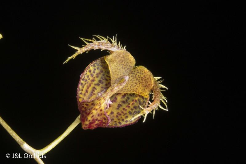 Scaphosepalum fimbriatum