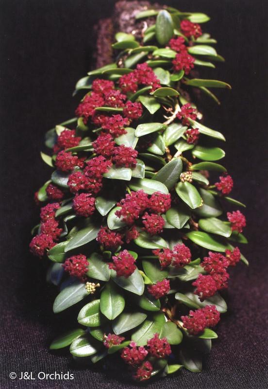 Stelis umbelliformis 'Raspberry Falls'